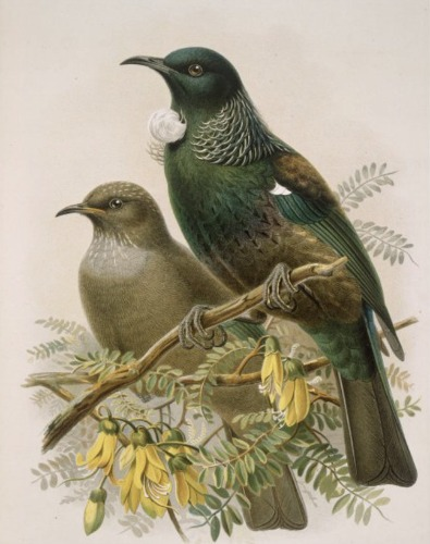 Tui From Buller S Birds By John Keulemans New Zealand