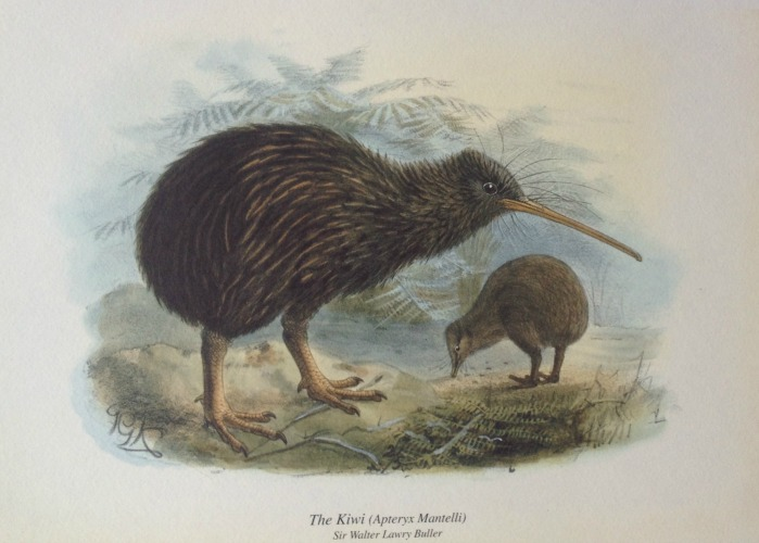 Kiwi Print From Birds Of Nz By Walter Buller New Zealand