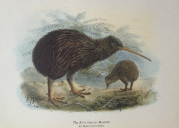 Kunstdruck: Kiwi